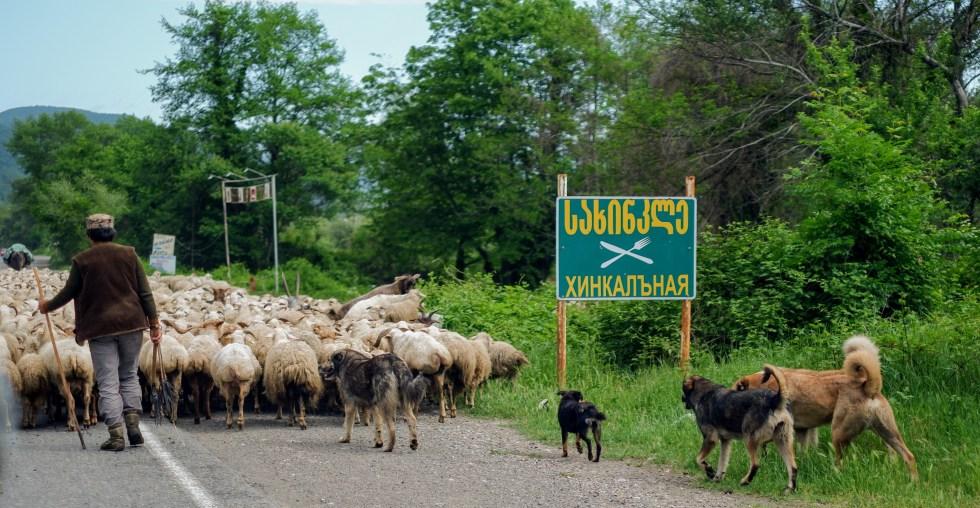 georgian road-trip sheep