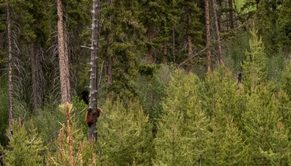 two bears climbing a tree in yellowstone national park