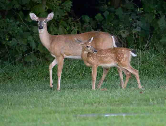 spinonews deer with wasting disease illness