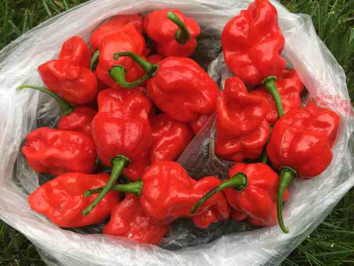 spinonews World's hottest pepper