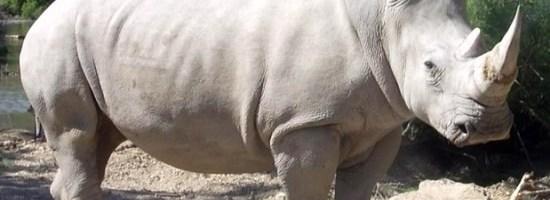 Rinocerul alb nord african e gata sa dispara