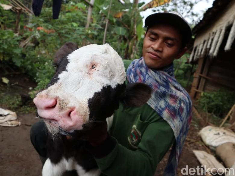 sapi unik ditemukan lokasi jombang