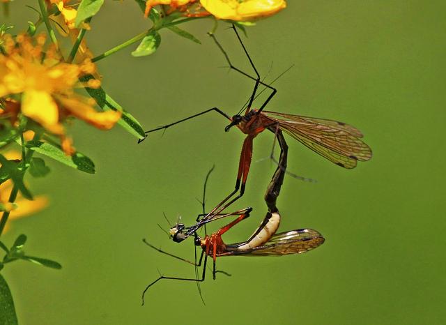scorpion fly.jpg