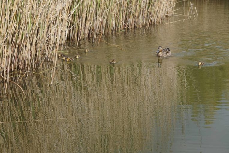 A Trip to see the Ducklings at Arundel Wetland Centre
