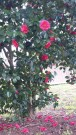 Petals in bloom and dropping