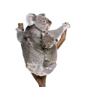 koalas hugging