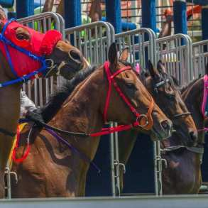 racehorses at gate