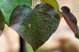 hojas-en-forma-de-corazon_4_900