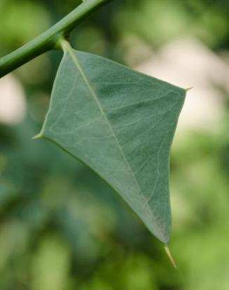 sombra-de-toro-jodina-rhombifolia-01