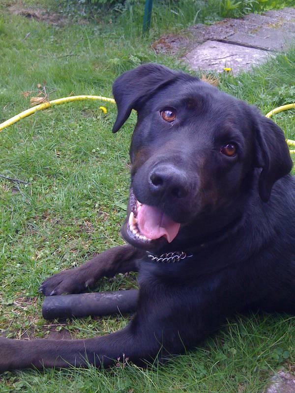 Svart hund, labradormix