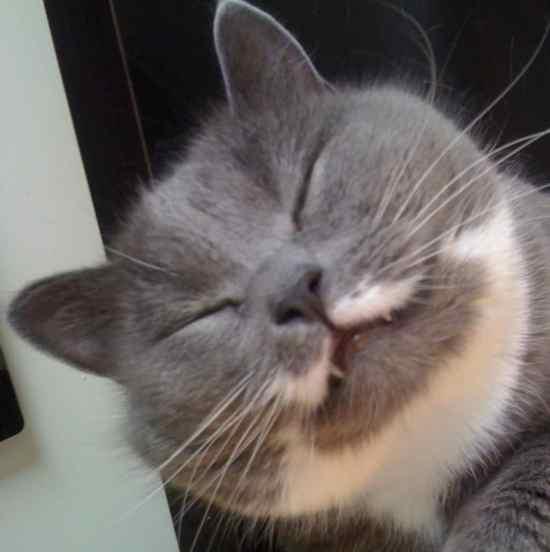 Grå katt, glad katt