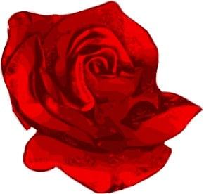 Ros, blomma