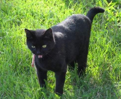 Svart katt i gräs. Om katter kunde prata.