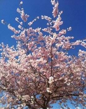Vackra körsbärsblommor mot en blå himmel - så vackert!