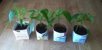 Chiliplanta, grön växt planterad i mjölkpaket