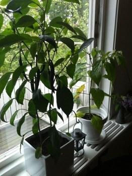 Chiliplantor i kruka. Grönsaker.