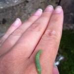 Grön larv