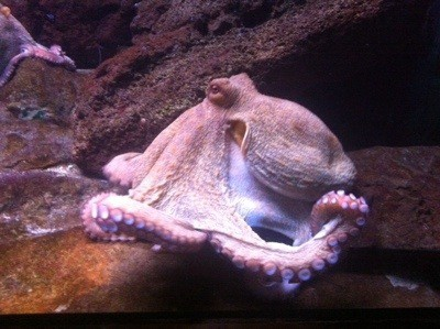 Bläckfisk. Var på La Sagrada Familia och Barcelonas akvarium.