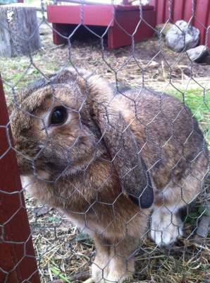 Grå kanin på 4H-gård