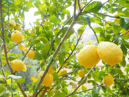 Citroner, citronträd