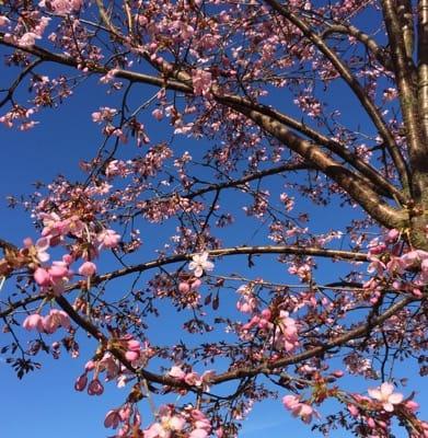Japanskt körsbärsträd med rosa blommor, körsbärsblommor