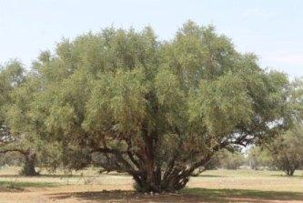 Myter om argan olie