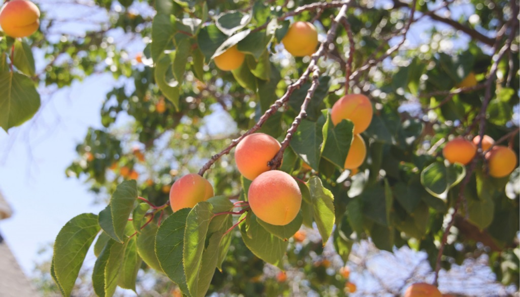 Epargne positive - Culture arbres fruitiers