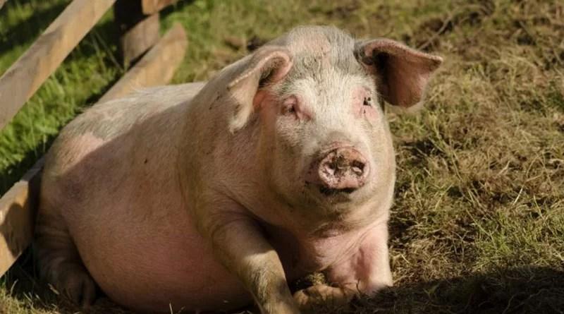 Focare noi de pestă porcină africană, în județul Argeș