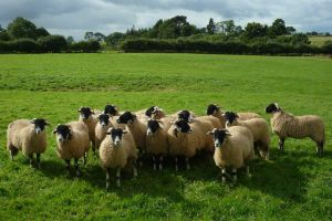 Argill Caravan Park Cumbria Swaledale Sheep