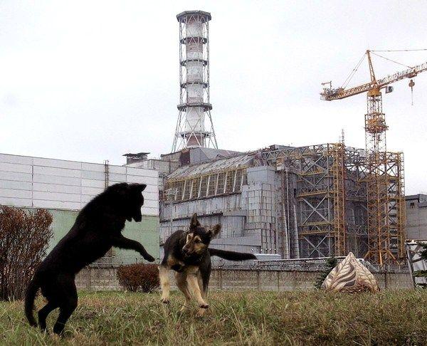 Фото:   Бродячие собаки неподалёку от ЧАЭС Фото Getty