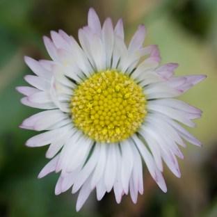 March daisy