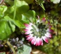May daisy2