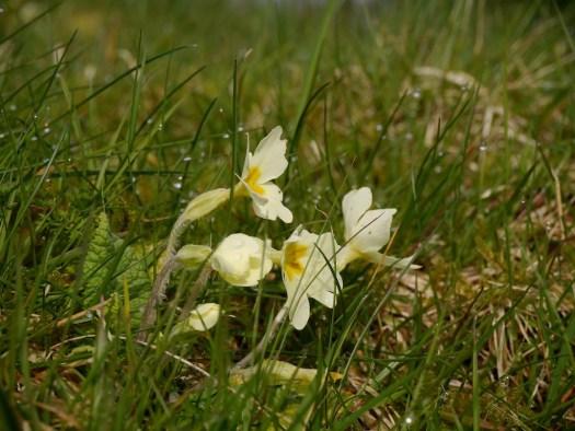 primroses in the grass