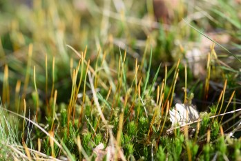 A Haircap-moss/Polytrichum sp.