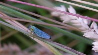 Blue Leaf Hopper