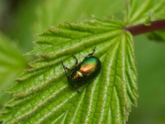Dock beetle on Meadowsweet leaf