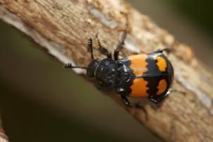 Sexton Beetle/Nicrophorus vespilloides