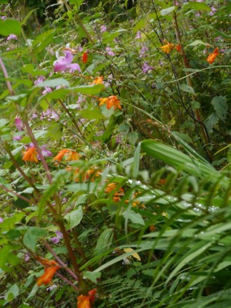 Monbretia and Himalayan Balsam