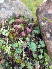 Pink Reflexed Stonecrop shoots on a drystone wall