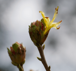 First flowers breaking out on yellow azalea bushes