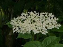 elder in rowan shade
