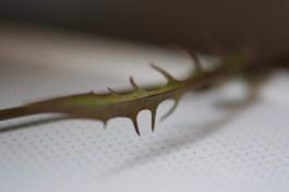 Smooth Hawk's-beard lower leaf