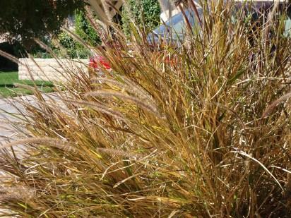 ornamental-grass