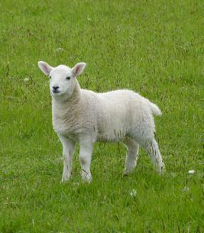 Orkney Lamb