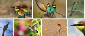 Arı Kuşu Nedir