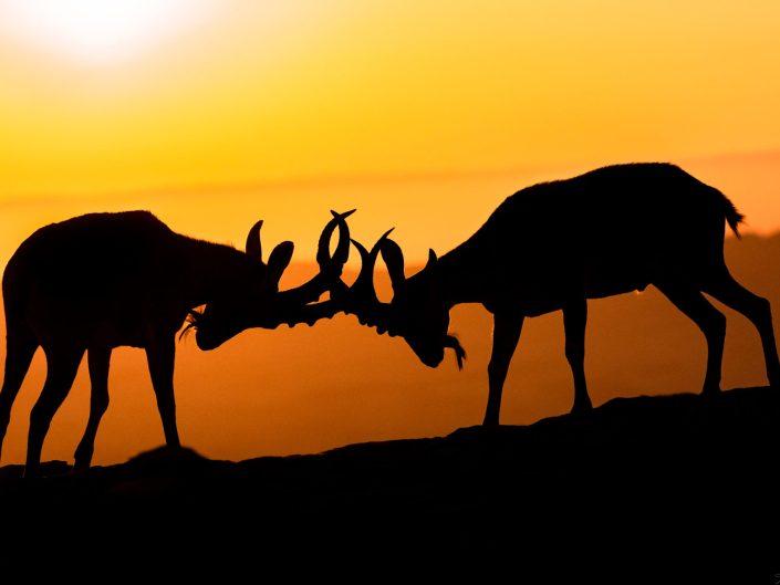 Nubian Ibex, Negev desert, Israel