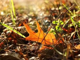 fallen oak leaf sun 3143