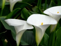 Close-up of the calla lilies.