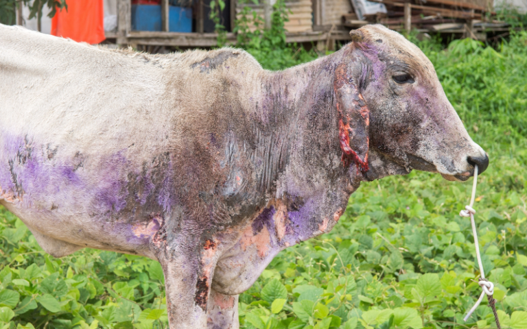 infected cattle