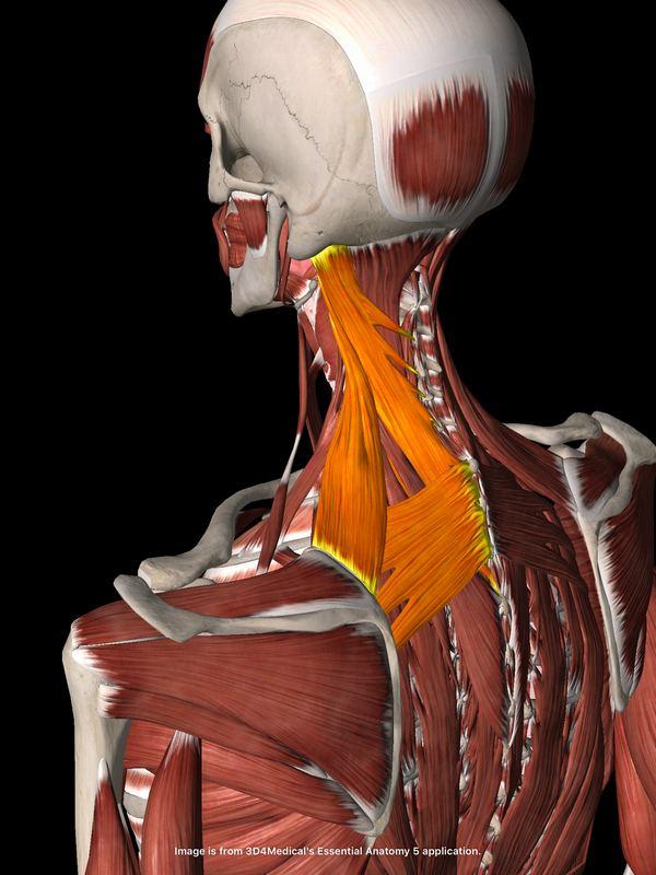 首肩の筋肉